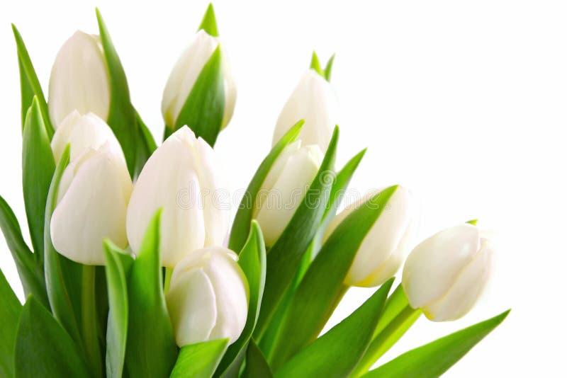 Priorità bassa bianca dei tulipani