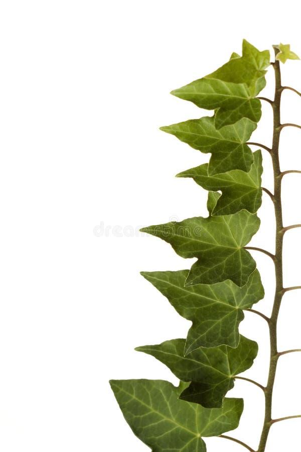 Priorità bassa bianca isolata edera verde immagini stock