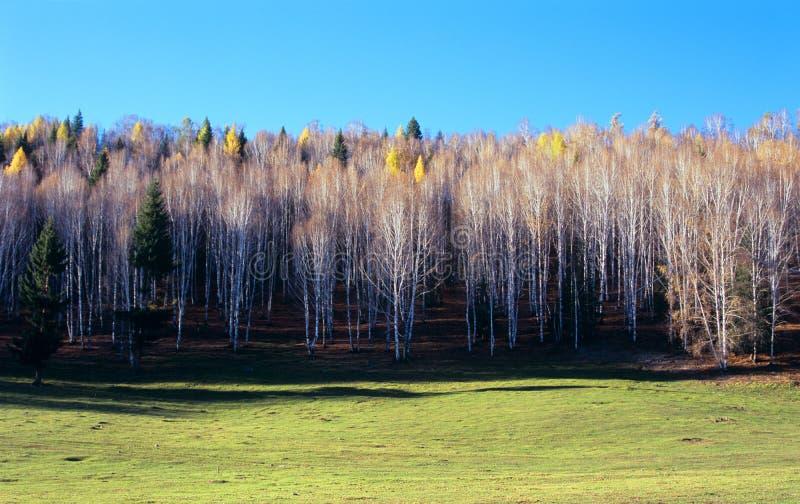 Priorità bassa degli alberi di betulla bianca. fotografia stock libera da diritti