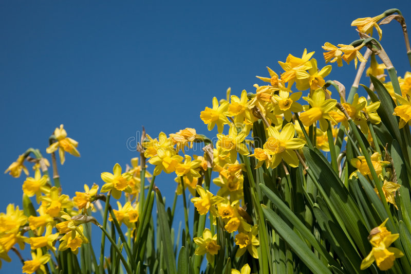 Priorità bassa del Daffodil immagine stock