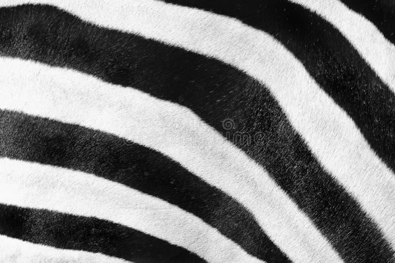 Priorità bassa del reticolo della zebra fotografia stock libera da diritti