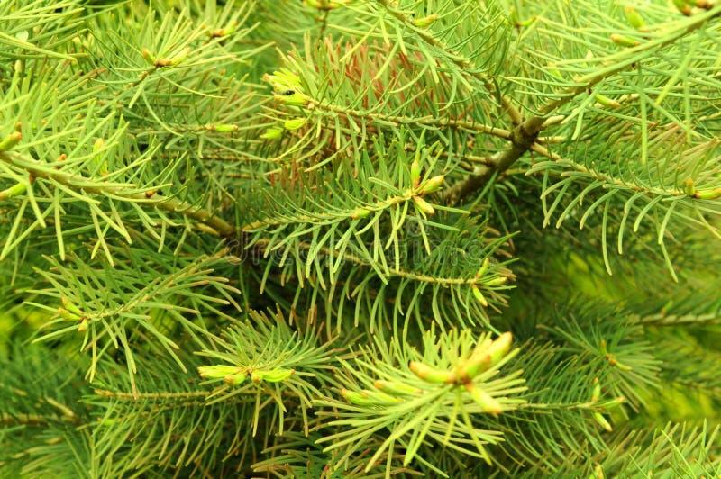 Priorità bassa dell'albero di pino fotografia stock libera da diritti