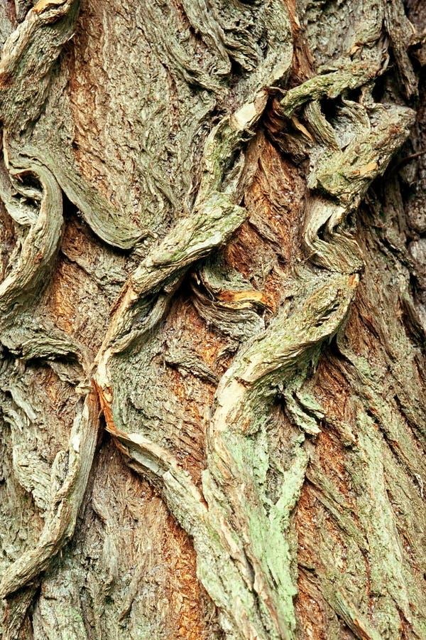 Priorità bassa della corteccia del salice bianco, Salix alba immagine stock libera da diritti