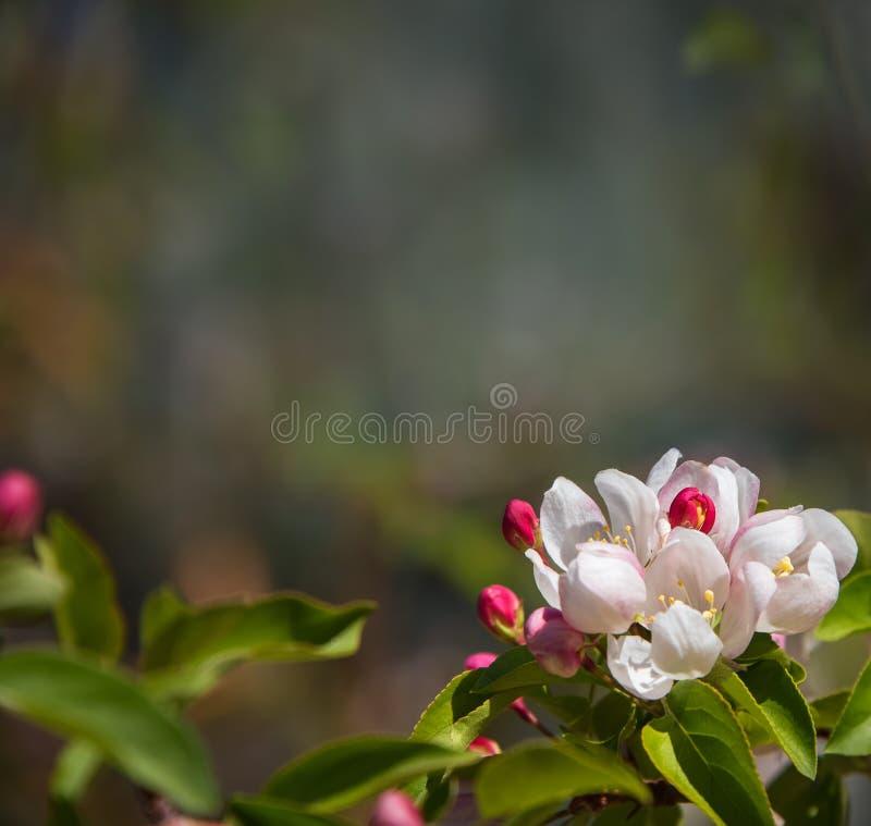 Priorità bassa della natura della sorgente Fiorendo, ramo di albero sbocciante, fondo confuso naturale Fiori rosa e bianchi, germ fotografie stock