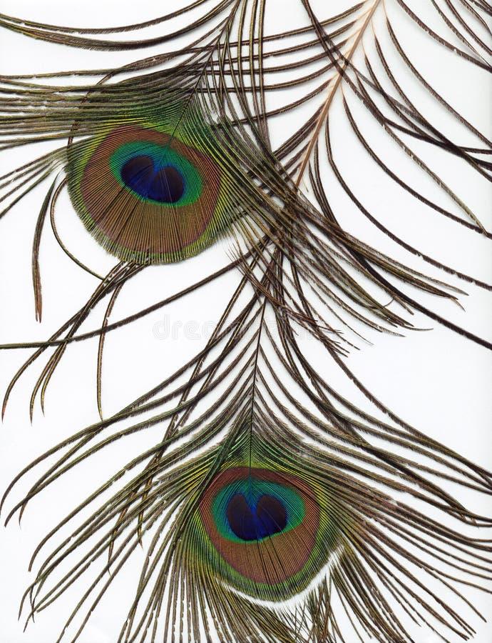 Priorità bassa della piuma del pavone fotografia stock libera da diritti