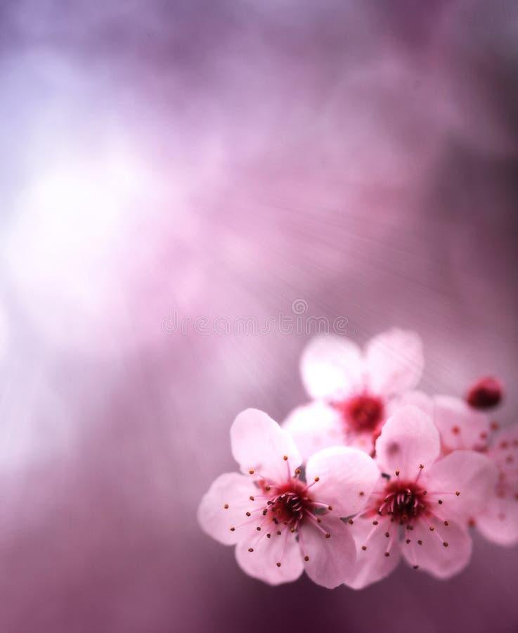 Priorità bassa della sorgente con i fiori ed i colori dentellare fotografia stock