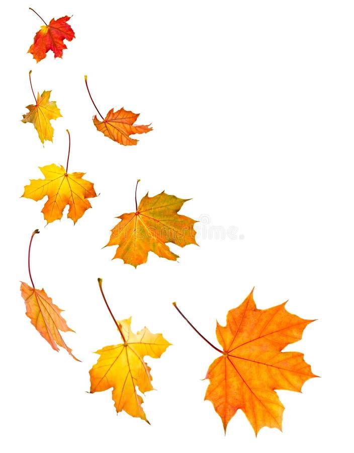Priorità bassa delle foglie di acero di caduta immagine stock