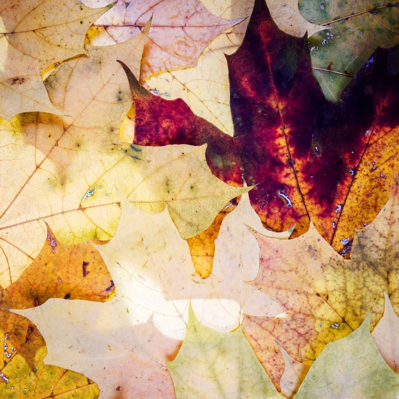 Priorità bassa di autunno con le foglie di acero immagini stock libere da diritti