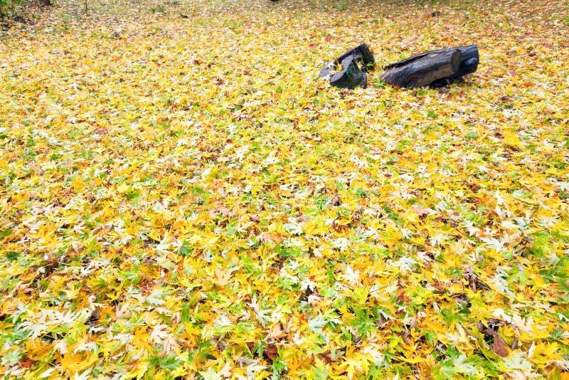 Priorità bassa di autunno (fogli abscissed colore giallo) fotografie stock
