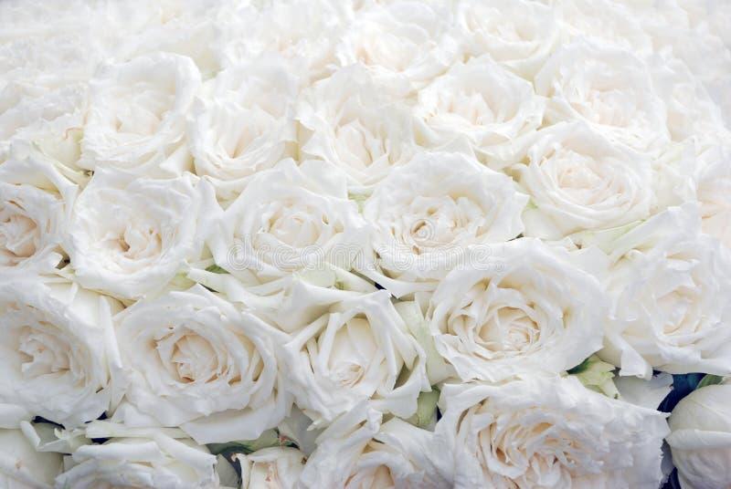 Priorità bassa di rosa di bianco. immagini stock