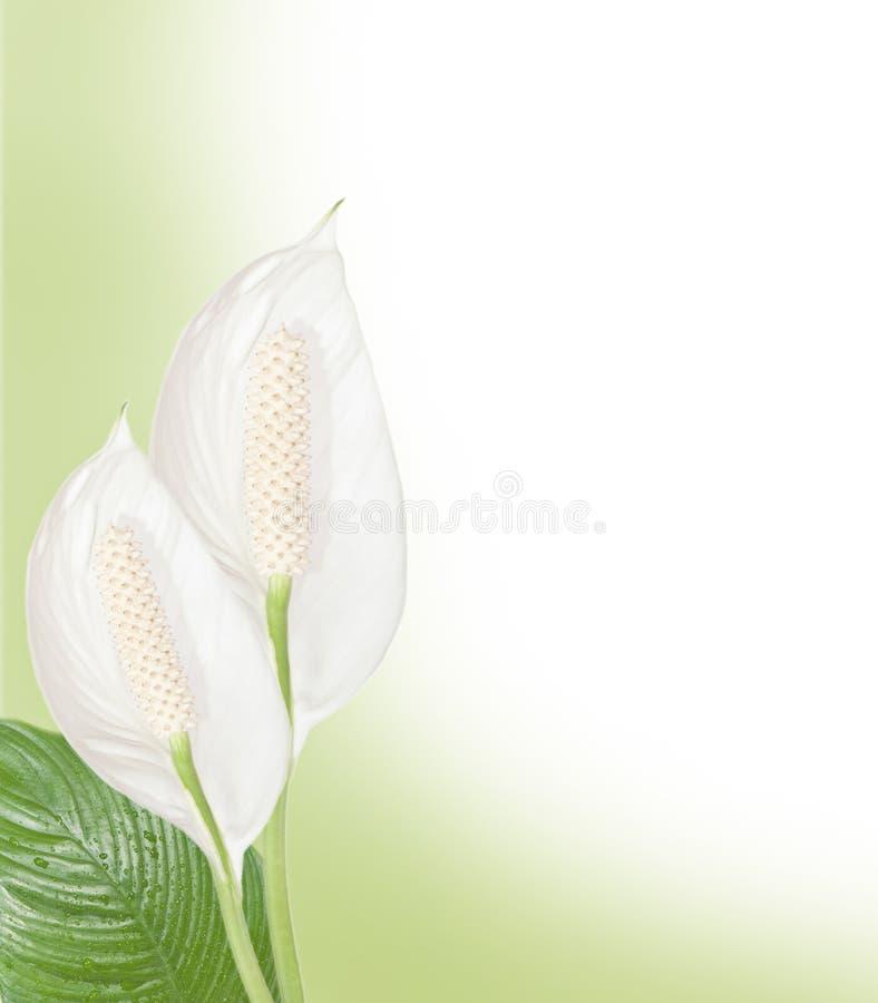 Priorità bassa di Spathiphyllum fotografie stock
