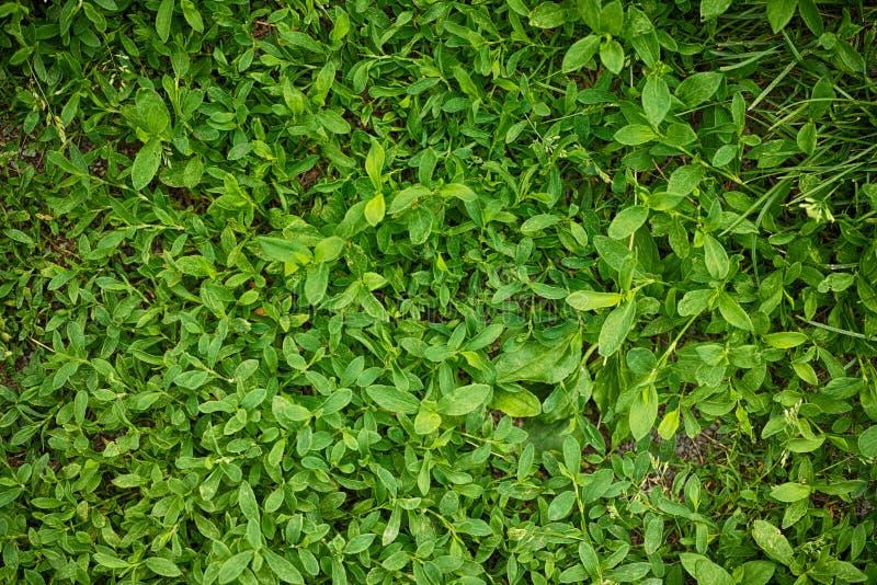 Priorità bassa di struttura dell'erba verde fotografia stock