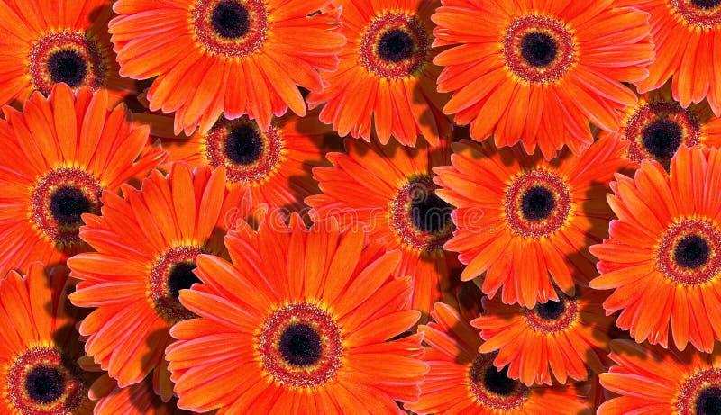 Priorità bassa floreale fondo arancio luminoso di struttura delle gerbere Fondo arancio naturale fotografia stock