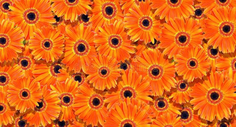 Priorità bassa floreale fondo arancio luminoso di struttura delle gerbere Fondo arancio naturale fotografie stock