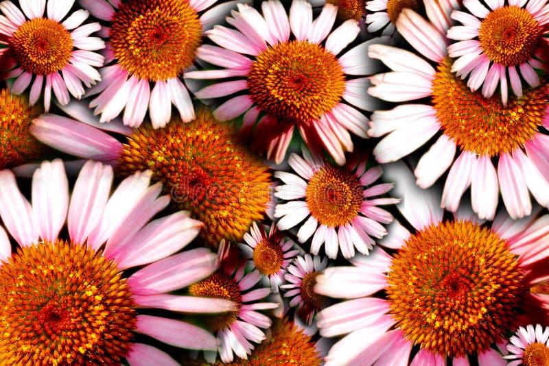 Priorità bassa floreale stampata in neretto (Echinacea) fotografie stock