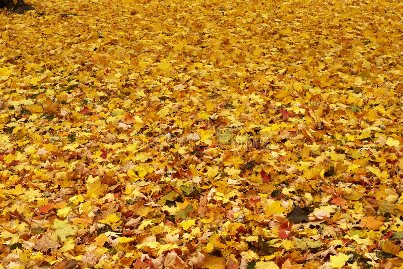 Priorità bassa gialla delle foglie di acero immagine stock libera da diritti