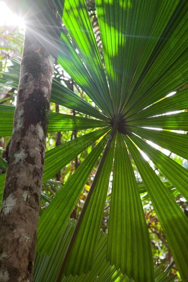 Priorità bassa incontaminata tropicale della foresta pluviale immagine stock libera da diritti