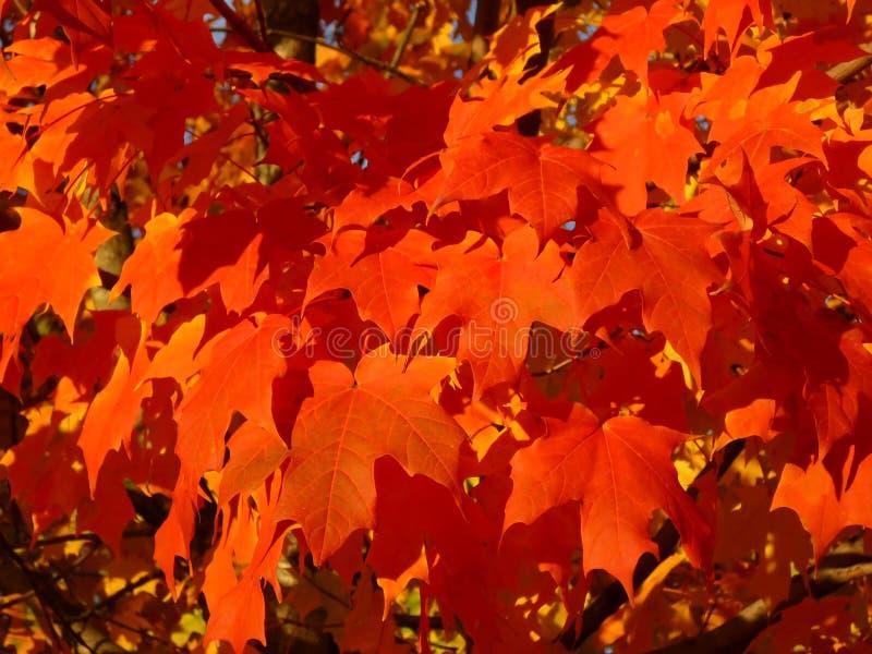 Priorità bassa saturata delle foglie di acero fotografia stock