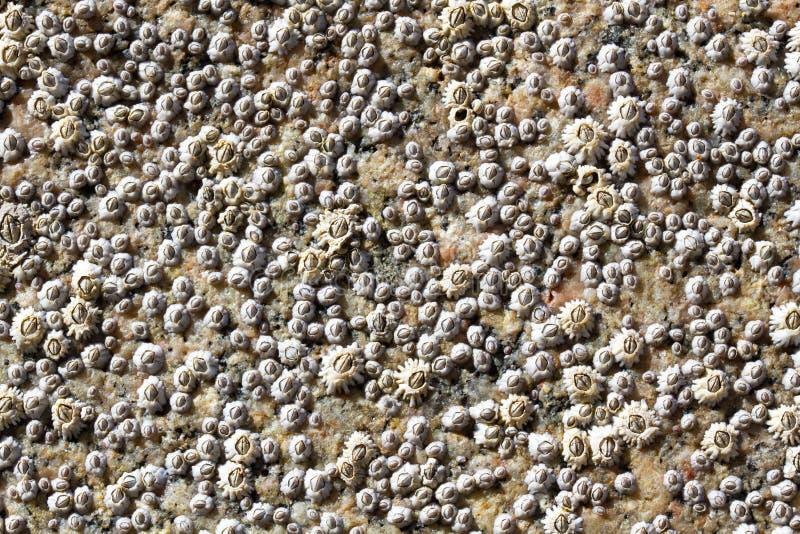 Priorità bassa - Seashells fotografia stock libera da diritti