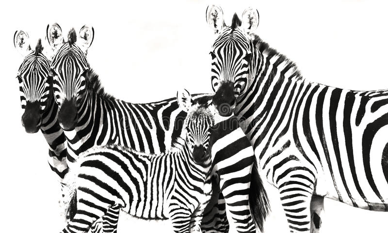 Priorità bassa a strisce di Grunge della zebra immagine stock