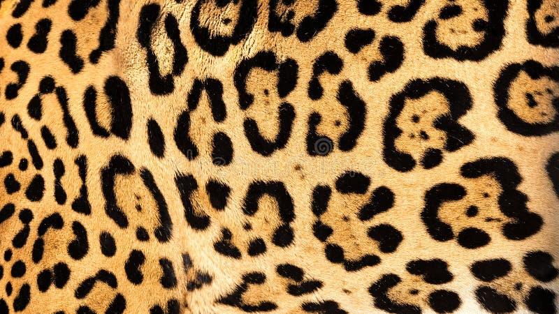 Priorità bassa in tensione reale di struttura della pelliccia della pelle del giaguaro immagine stock