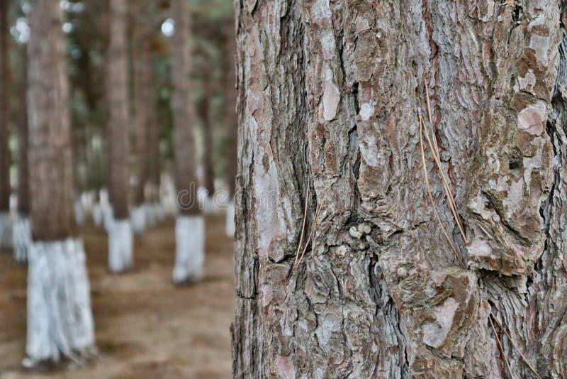 Priorità bassa vaga Primo piano del pino fotografia stock