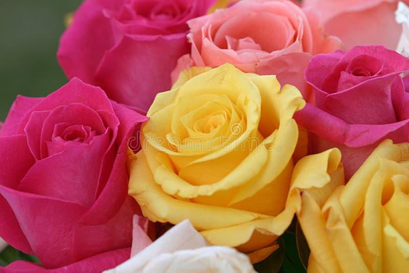 Priorità bassa variopinta della Rosa fotografie stock libere da diritti