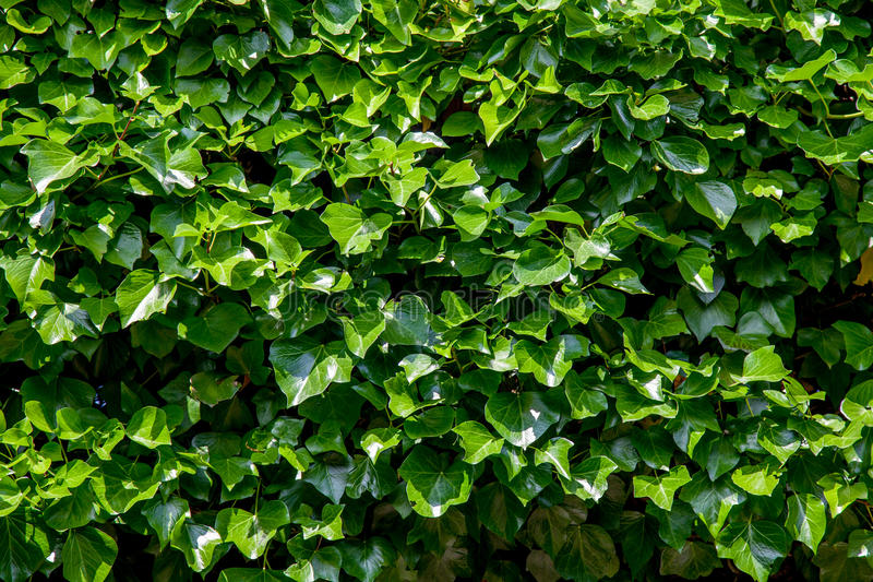 Priorità bassa verde dell'edera immagini stock