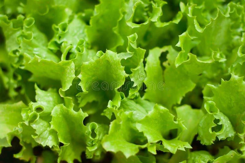 Priorità bassa verde della lattuga fotografie stock