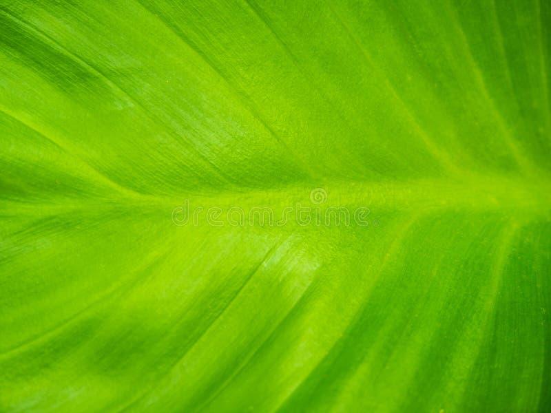 Priorità bassa verde di struttura del foglio fotografia stock
