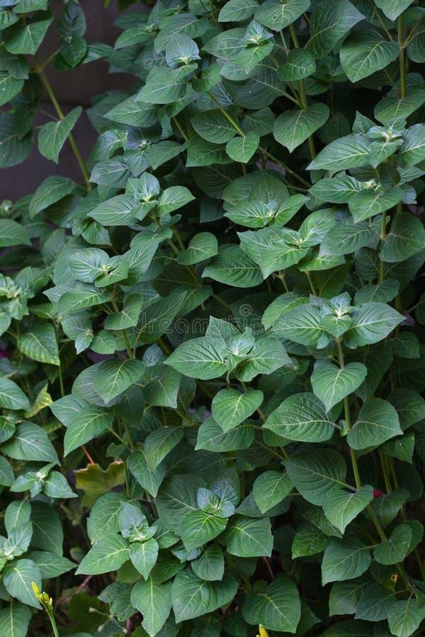 Priorità Bassa Verde Frondosa Fotografia Stock Libera da Diritti