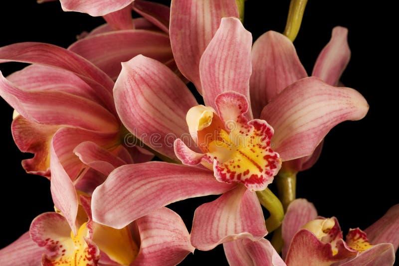 Priorità bassa viola dentellare del nero dell'orchidea fotografie stock