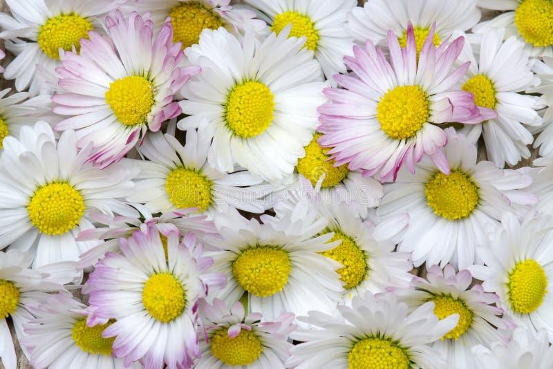 Priorit? bassa con i fiori delle margherite fotografia stock libera da diritti