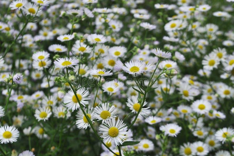 Priorit? bassa dei fiori Crisantemi bianchi immagine stock