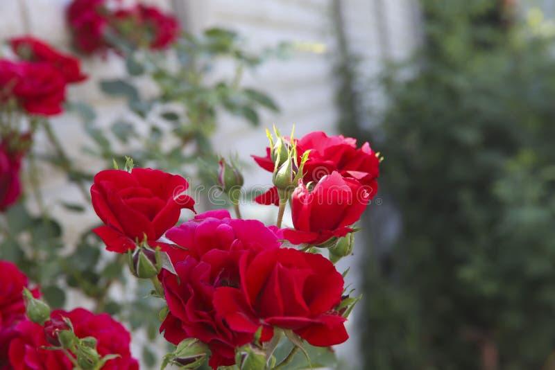 Priorit? bassa del fiore Germogli della rosa rossa su un fondo delle foglie verdi nel giardino immagine stock libera da diritti
