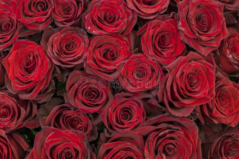 Priorit? bassa rossa delle rose Rosso fresco e rose di Borgogna Germogli di rosa di colore rosso fotografia stock libera da diritti