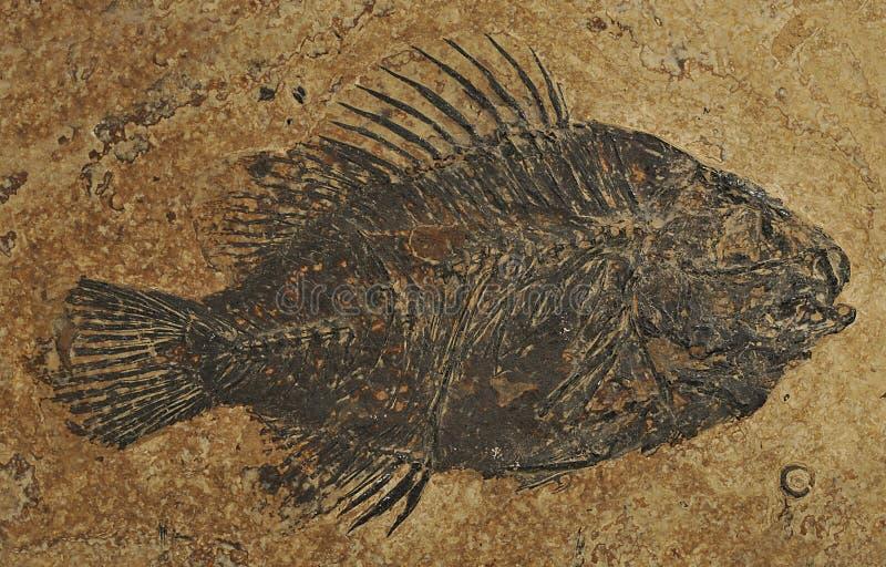 priscacara ископаемого рыб стоковые фотографии rf