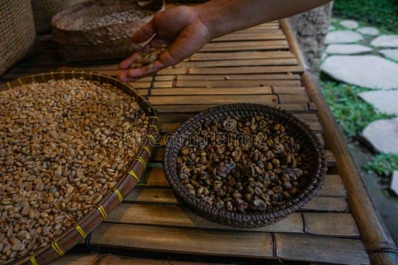 Prise Kopi Luwak, café de civette, grains de café de main crus organiques photographie stock