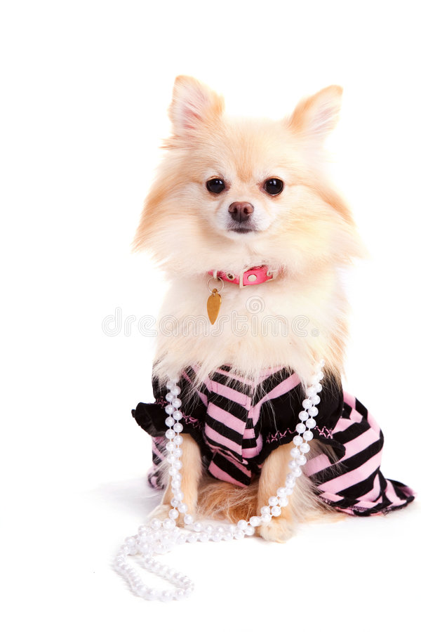 Prissy Pomeranian Pup stock photos