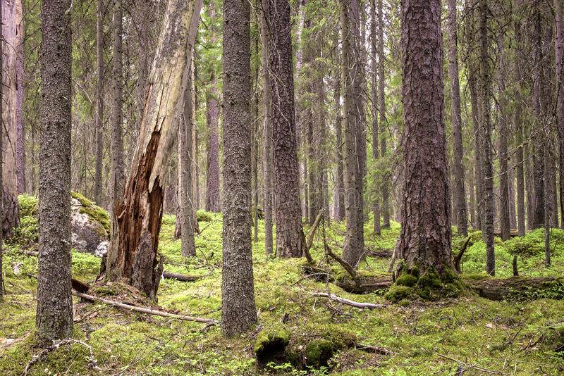 Pristine boreal forest of conifers. Pristine northern forest of conifers in Finland, Seitseminen national park royalty free stock images