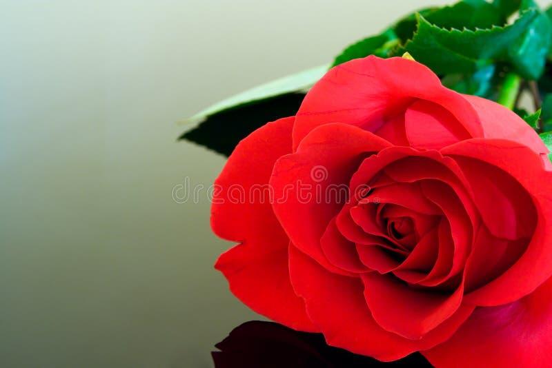 Pristine Rose stock images