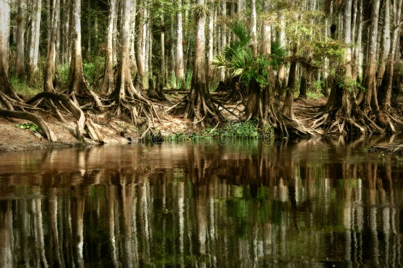 A pristine stand of native bald cypress trees reflect in the still waters of Fisheating Creek, near Palmdale, Florida royalty free stock images