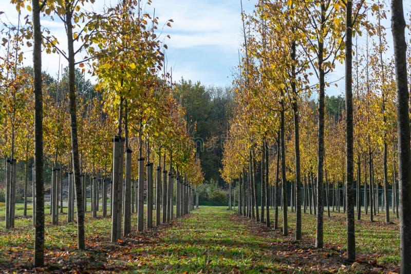 Privat庭院,公园苗圃场在荷兰,专门研究媒介对非常大型树,在行的灰色赤杨树 免版税库存照片