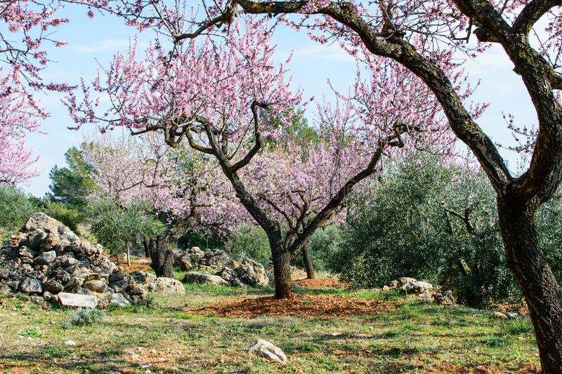 Private garden of the blooming almond. Private garden of the blooming almond in spring time in spain in mountains stock image