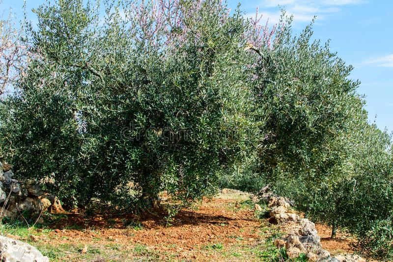 Private garden of the blooming almond. Private garden of the blooming almond in spring time in spain in mountains royalty free stock images