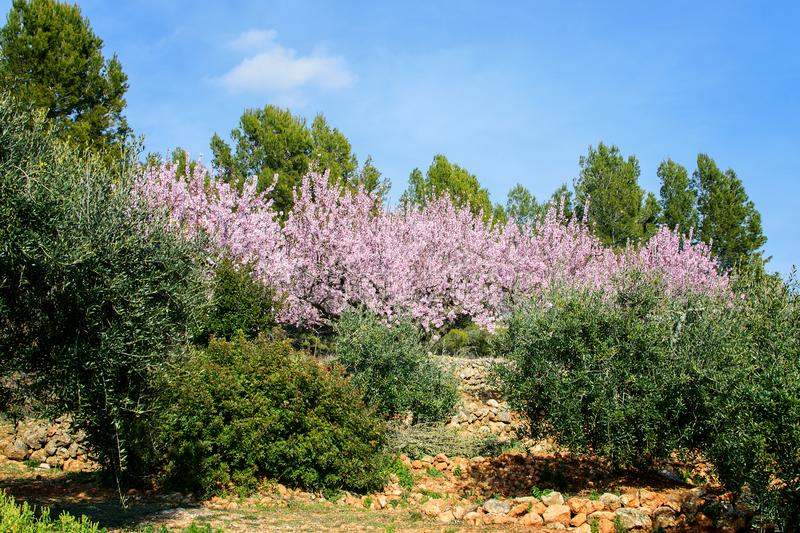 Private garden of the blooming almond. Private garden of the blooming almond in spring time in spain in mountains royalty free stock photos