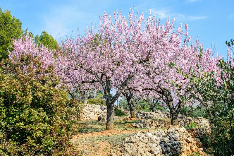 Private garden of the blooming almond. Private garden of the blooming almond in spring time in spain in mountains royalty free stock photo
