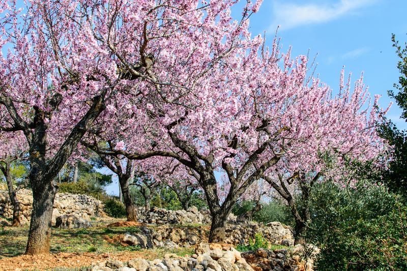 Private garden of the blooming almond. royalty free stock images