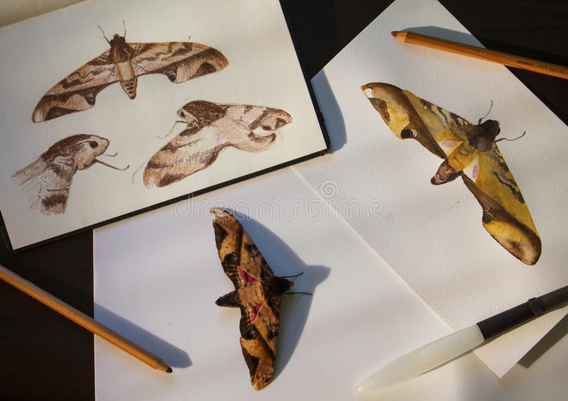 Privet hawk moth and hand-drawn illustrations. Tropical butterfly and drawings flat lay photo on table. royalty free stock photos