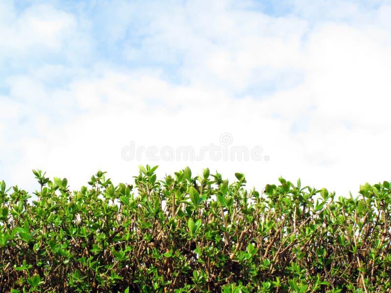 Privet Hecke und Himmel mit Wolken lizenzfreie stockfotografie